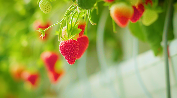 How We Grow Our YES!Berries